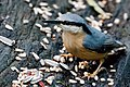 Nuthatch - Lackford Lakes (38362888672).jpg