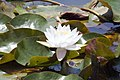 Nymphaea Gladstoniana 5zz.jpg