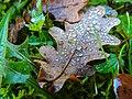 Oak leaf and droplets (22211226244).jpg