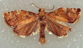 <i>Archips</i> Genus of tortrix moths
