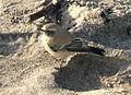 Oenanthe deserti Newbiggin 1.jpg