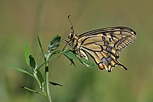 Old World swallowtail (Papilio machaon gorganus) underside Hungary.jpg