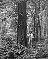 Old growth honeylocust tree.jpg