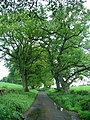 Old oaks - geograph.org.uk - 439469.jpg