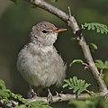 Olive-tree warbler, Hippolais olivetorum, at Mkuze Game Reserve, Kwa Zulu-Natal, South Africa (39230393994).jpg