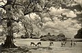 One of the Sylvan scenes of Nara Park in early summer (NBY 1905).jpg