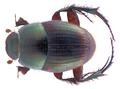 Onthophagus anomalus Klug, 1855 (31904173511).png