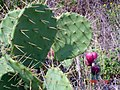 Opuntia-bentonii.jpg