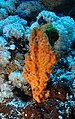Orange sponge in soft coral garden (6163164373).jpg