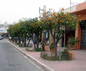 Orange trees on a street in Morocco