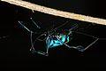 Orb-weaving Spider (Opadometa sp.) (8728790440).jpg