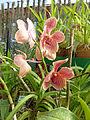 Orchidées-Jardin botanique de Peradeniya-Sri Lanka (15).jpg