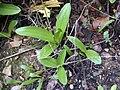 Orchis punctulata 4.JPG