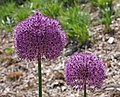Ornamental Onion Allium 'Gladiator' Flower Heads 2469px.jpg