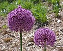 Ornamental Onion Allium 'Gladiator' Flower Heads 2469px