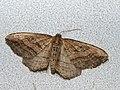 Orthonama vittata - Oblique carpet - Ларенция перевязанная (39147544160).jpg