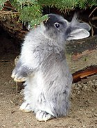 List Of Rabbit Breeds Wikipedia