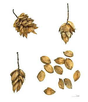 Ostrya carpinifolia - Fruits of  Ostrya carpinifolia – MHNT