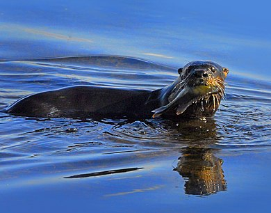 390px-Otter_at_Lake_Woodruff_-_Flickr_-_Andrea_Westmoreland.jpg