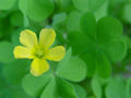 Oxalis albicans 000.jpg