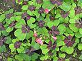 Oxalis tetraphylla (aka deppei) - Flickr - peganum (1).jpg