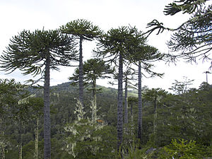 Cordillera de Nahuelbuta - Araucaria araucana forest
