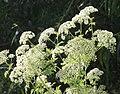 POISON HEMLOCK (Conium maculatum)) (6-4-11) santa cruz river, scc, az -01 (5802000336).jpg