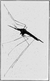 PSM V63 D464 Adult female mosquito 1.png