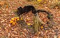 Paddenstoelen rond de restanten van boomstam (prachtvlamhoed Gymnopilus junonius). Locatie, Historisch Park Heremastate.jpg
