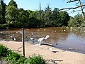 Paignton , Paignton Zoo Lake - geograph.org.uk - 1484474.jpg
