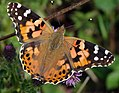 Painted Lady, Vanessa cardui (Explored 28.07.15) (19872618120).jpg