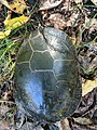 Painted Turtle With Shell Repairs (37566553116).jpg
