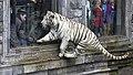 Pairi Daiza Bengaalse tijger met mutatie (witte vacht) 3-11-2015 13-57-52.JPG