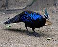 Palawan peacock.jpg