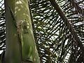Palma Real Cubana (in Spanish) (4630859881).jpg
