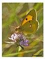 Papallona de l'alfals, Colias crocea - mariposa butterfly (1923477160).jpg
