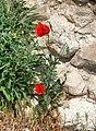 Papaver rhoeas 5 (8692895223) (cropped).jpg
