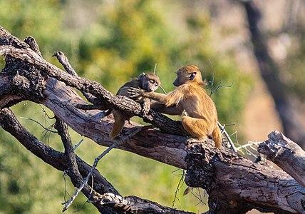 Young Chacma baboons (Papio ursinus) playing around, Chobe National Park, Botswana.