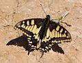 Papilio machaon (Papilionidae) (Swallowtail) - (imago), Limassol, Cyprus.jpg