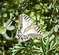 Papilio machaon on Ruta chalepensis flower - cropped.jpg