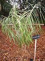 Parajubaea torralyi - Royal Botanical Garden, Madrid.JPG