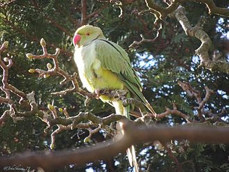 Sefton Park - Rose-ringed parakeet in Sefton Park.