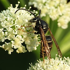 Parasitic Yellowjacket (15025342930).jpg