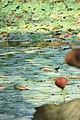 Parco del loto - come si passeggia sulle acque.jpg