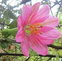 Passiflora-mixta-Gr1