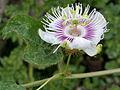 Passiflora foetida W IMG 0582.jpg