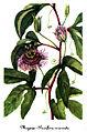 Passiflora incarnata-2, by Mary Vaux Walcott.jpg