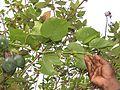 Passiflora ligularis, the sweet granadilla or grenadia at Mannavan Shola, Anamudi Shola National Park, Kerala (3).jpg