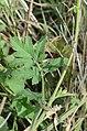Pastinaca sativa subsp. urens leaf (04).jpg
