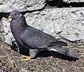 Patagioenas fasciata -San Luis Obispo, California, USA-8 (1).jpg
